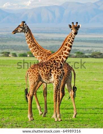 Two masai giraffes in Serengeti national park - stock photo