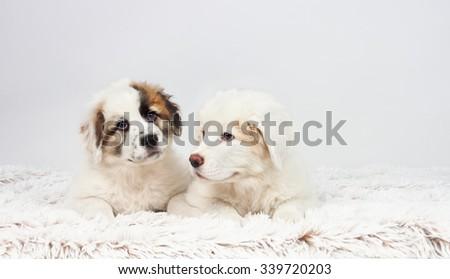 Two mastiff puppy dog lying on the soft floor. Studio photography - stock photo