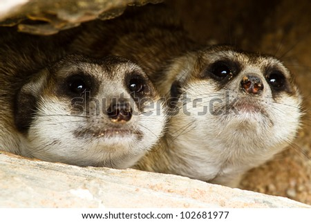 Two Meerkat peeking out of their hiding - stock photo