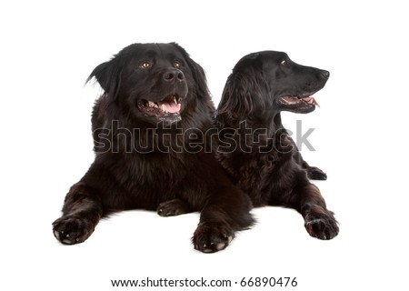 Two mixed breed dogs New foundland/bernese mountain and flatcoated/golden retriever dog isolated on a white background - stock photo
