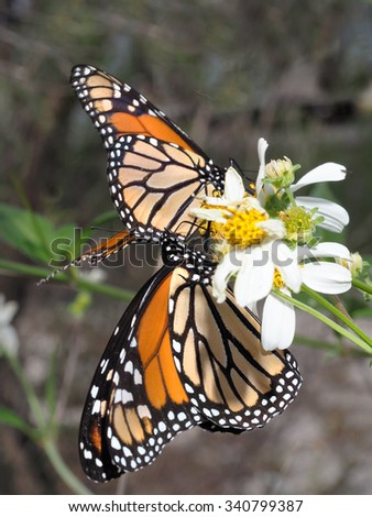 Two Monarch Butterflies on Common Beggar-Ticks  - stock photo