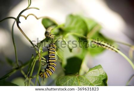 two Monarch caterpillars (larva) eating milkweed   - stock photo