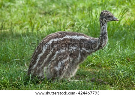 Two-month-old emu (Dromaius novaehollandiae). Wildlife animal.  - stock photo