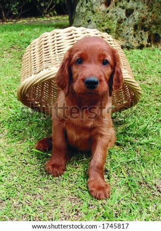 Two months old pure breed red irish setter puppy hiding under a basket - stock photo
