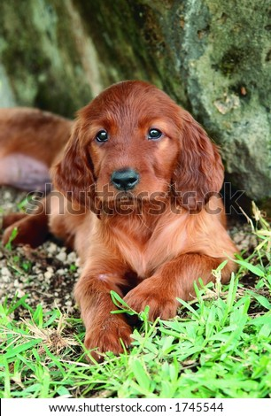 Two months old pure breed red irish setter puppy laying next to a rock - stock photo