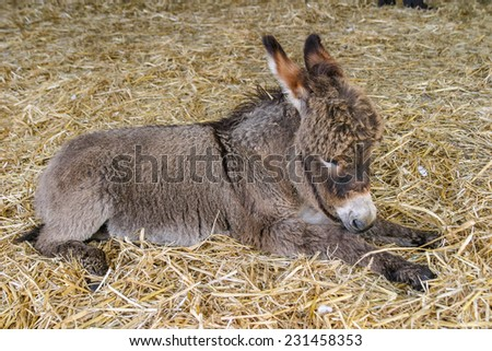 Two months old young baby donkey foal resting on straw - stock photo