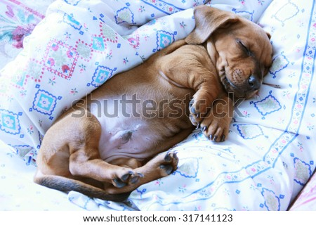 Two months puppy dachshund smooth is sleeping curled front paws. High angle view, close-up - stock photo