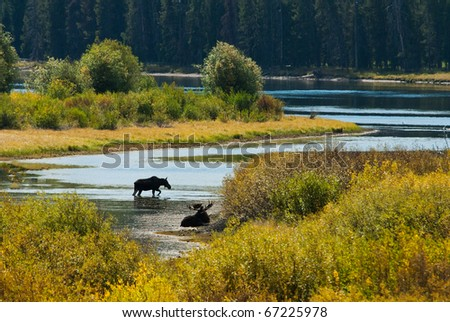 Two Moose at Oxbow Bend in the Grand Teton National Park, Wyoming - stock photo