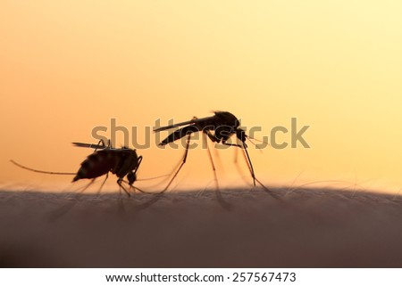 two mosquitos on human skin at sunset - stock photo