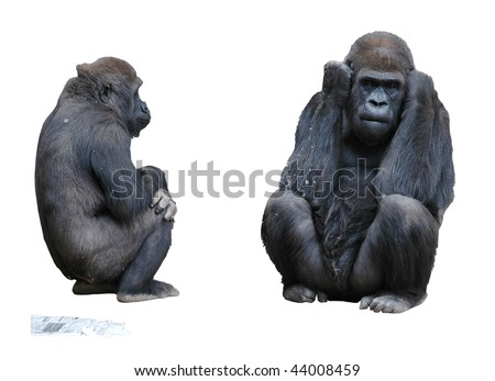 Two Mountain Gorillas and Newspaper Isolated on White Background - stock photo
