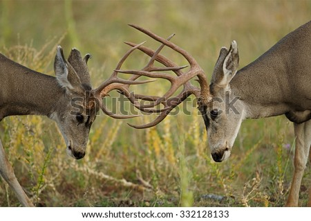Two Mule Deer bucks fighting and sparring with heads lowered and antlers engaged, Odocoileus hemionus - stock photo