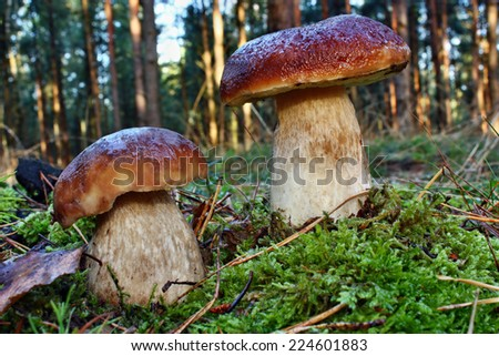 Two mushroom boletus edulis  in the forest - stock photo