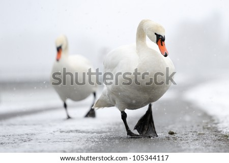 Two Mute Swans walking close up. - stock photo