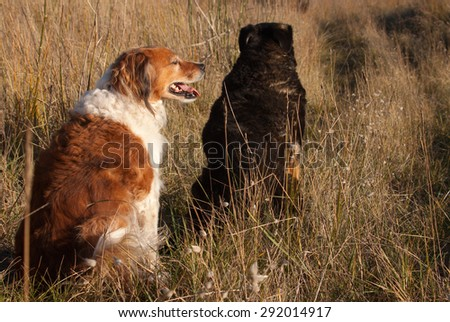 two New Zealand sheepdogs sitting together on a path amongst long dune grasses on a sand hill at a beach  - stock photo