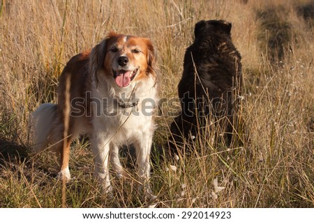 two New Zealand sheepdogs sitting together on a track amongst long dune grasses on a sand hill at a beach - stock photo