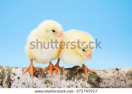 Two newborn yellow chickens standing on wooden branch. Isolated on blue - stock photo