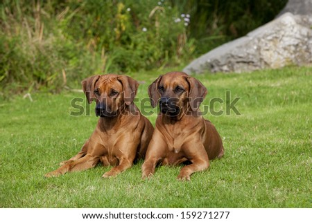 Two nice looking black nosed Rhodesian Ridgeback females are lying in the grass. - stock photo