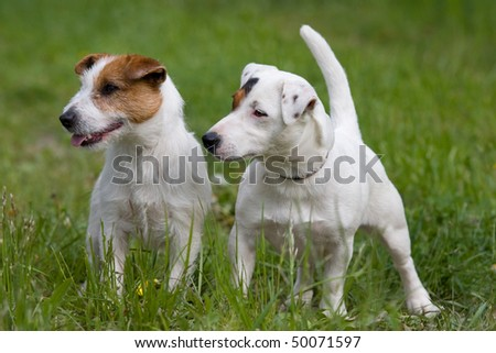 Two nice posing Jack Russel Terrier - stock photo