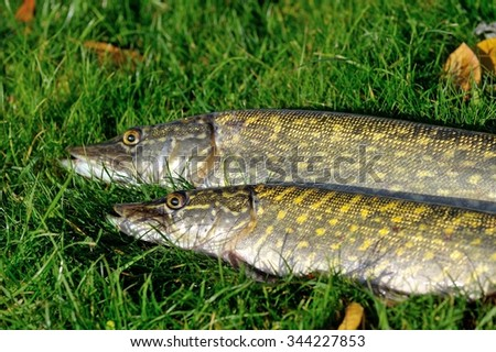 Two Northern Pikes lying on the grass - stock photo