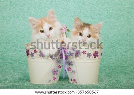 Two Norwegian Forest Cat kittens sitting inside pails buckets decorated with ribbon on mint green background - stock photo