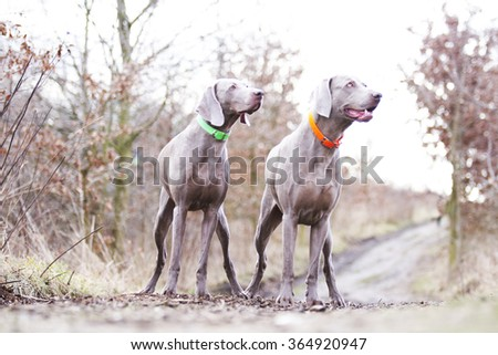 two obedient, happy, beautiful, healthy and young weimaraner dog or puppy patiently standing alone on a dirt road, hunting, winter nature - stock photo