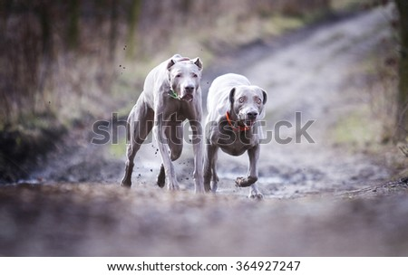 two obedient, happy, beautiful, healthy and young weimaraner dog or puppy quickly runs along a dirt road in the forest, autumn nature, hunting - stock photo