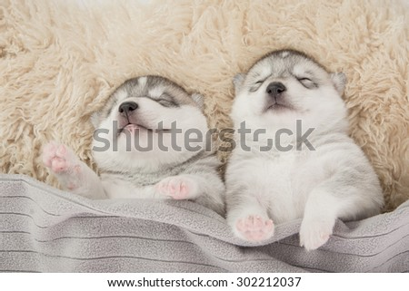 Two of siberian husky puppies sleeping under a grey blanket - stock photo