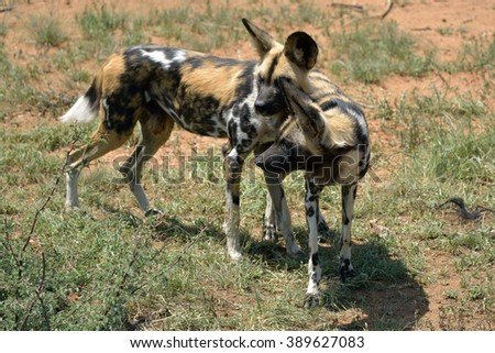 Two of the African Wild Dog in the savanna, Namibia - stock photo
