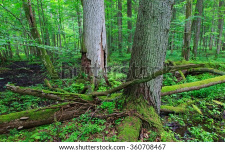 Two old dead trees and old natural deciduous stand of Bialowieza Forest in background,Bialowieza Forest,Poland,Europe - stock photo
