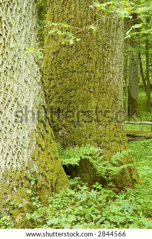 Two old oaks and fern - stock photo