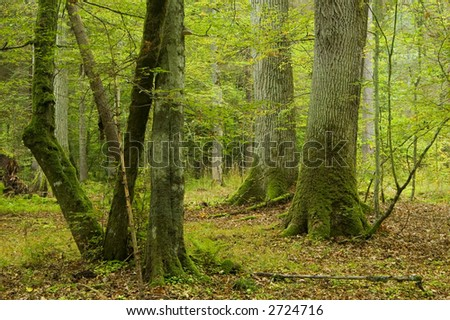 Two old oaks and hornbeams in foreground,early autumn, old natural forest - stock photo