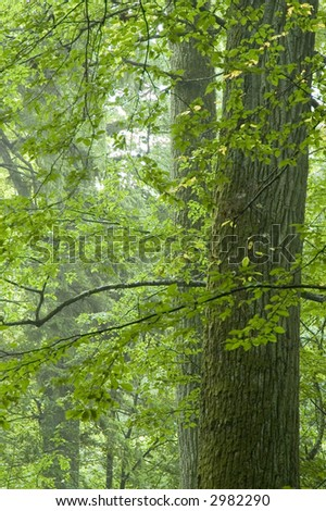 Two old oaks in summer forest,europe,poland,bialowieza forest - stock photo