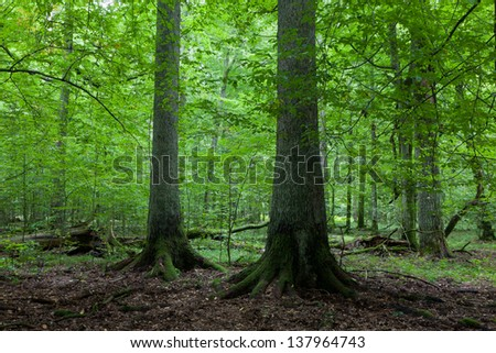 Two old spruces in natural late summer forest against juvenile stand - stock photo