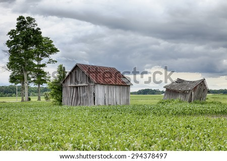 Two old, weathered farm sheds stand in the middle of a corn field on cloudy summer day on a farm in Ohio. - stock photo