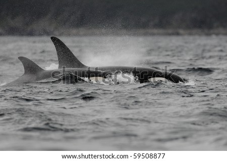Two Orca killer whales on Witless Bay off the east coast of Newfoundland - stock photo