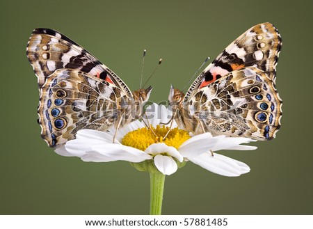Two painted lady butterflies are perched on a daisy and look like mirror images of each other. - stock photo