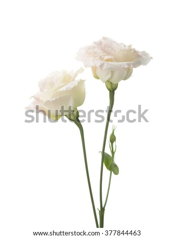 Two  pale pink flowers isolated on white. - stock photo