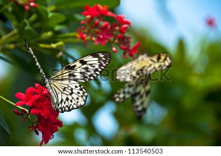 Two Paper Kite butterflies feeding from red flowers with bright blues & greens behind them, soft focus on front butterfly - stock photo