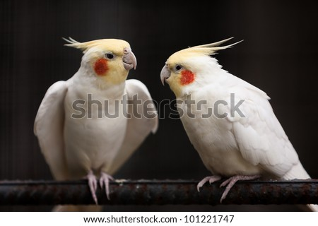Two parrots are showing affection to each other. - stock photo