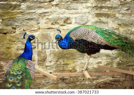Two peacock to a stone wall - stock photo
