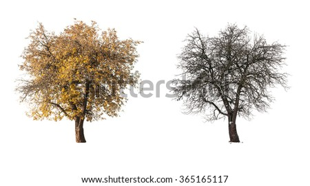 two pear tree isolated on white  - stock photo