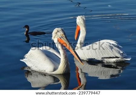 Two Pelican on Water, Pelican, Bird, Blue Sea, Bird on Water, Seabird - stock photo