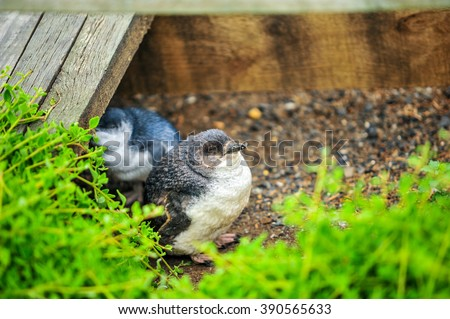 Two Penguin going from nest boxes on phillips island - stock photo
