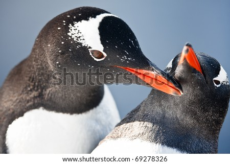 two penguins playing on the stony coast of Antarctica - stock photo