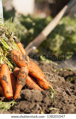 Two people harvest home-grown carrots on background and dug carrots on a front - stock photo