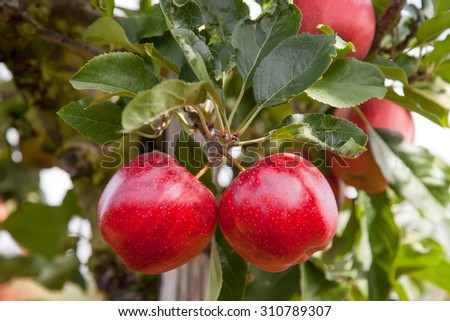 Two perfect red apples on a tree, in an organic apple orchard - stock photo