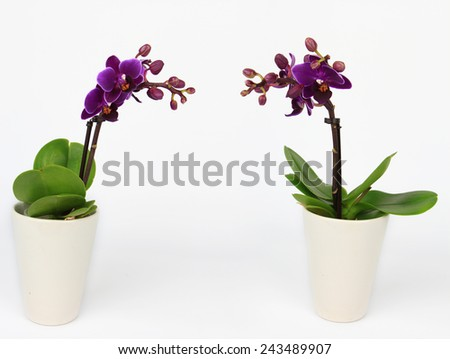 Two Phalaenopsis orchid potted isolated on white - stock photo