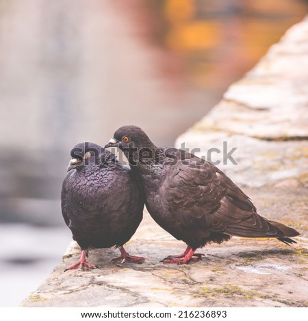 Two pigeons on a wood post show affection towards each other - stock photo