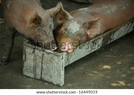 Two piglets having fun, one of them in a trough - stock photo