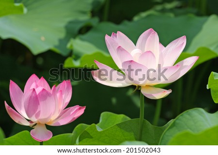 Two pink lotus flowers on a sunny summer day in the park - stock photo
